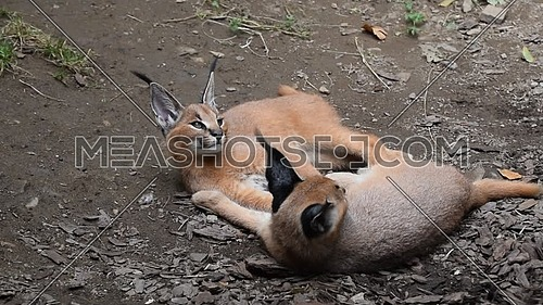 Close up view of two cute baby caracal kittens lie resting on the ground, hug and play, one looking at camera, high angle