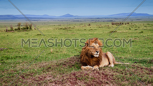 A male lion having a break after some light rain at Masai Mara National Reserve, Kenya.