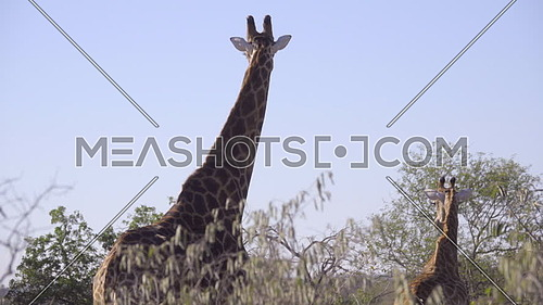 View of a Giraffe and its calf