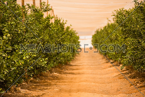 large farm mandarins in the Middle East