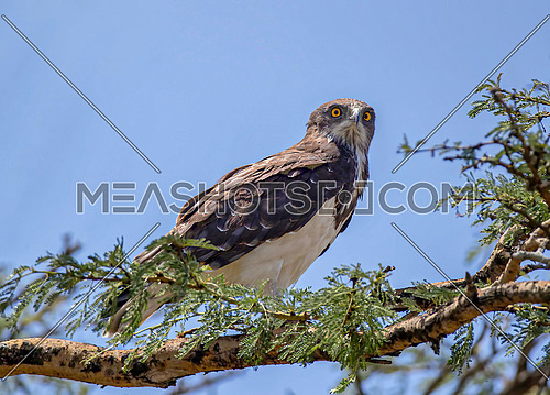 Black chested snake eagle(circaetus pectoralis) on tree branch
