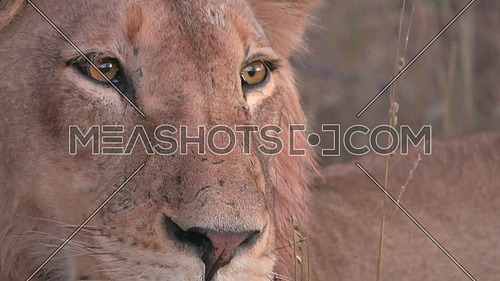 Dramatic close shot of a lions alert eyes