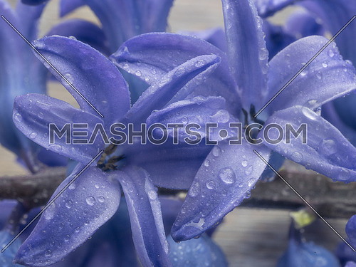 Macro shot of purple Hyacinthus flower  for background use.Spring flowers