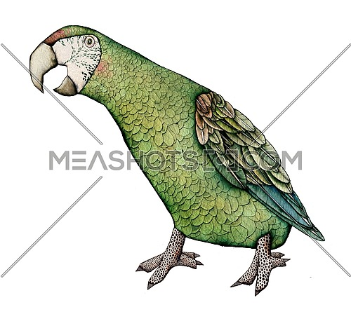 Macaw, milatary green color artistic illustration