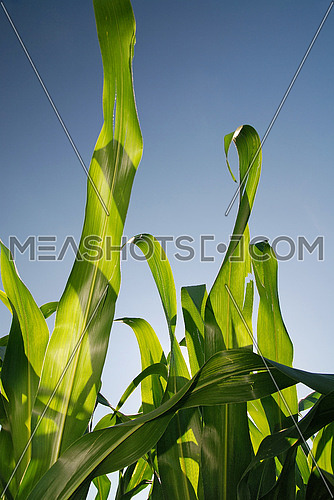 sunny day at field of corn and dramatic sky...   (NIKON D80; 6.7.2007; 1/60 at f/6.3; ISO 100; white balance: Auto; focal length: 18 mm)