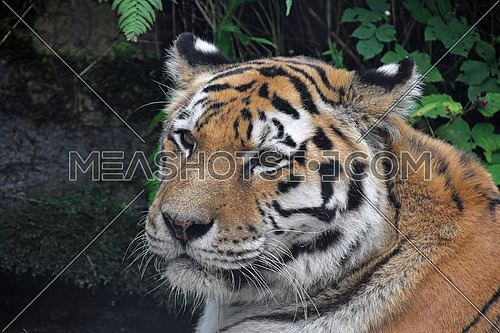 Close up profile portrait of old male Siberian tiger (Amur tiger, Panthera tigris altaica) looking at camera, high angle, side view