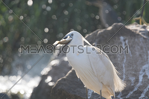 Little Egret bird holding a fish