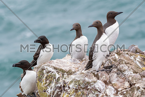 Aguillemots and razorbills (Uria aalge) on a cliff edge on the Isle of May