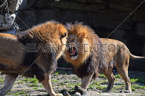 Two male African lions play, fight and roar in zoo, low angle view
