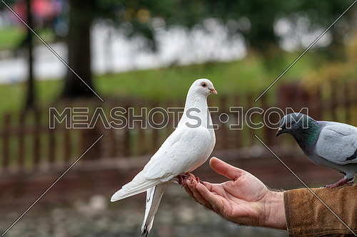 White Pigeon  dove eating  seed from person hand