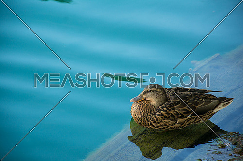 a calm duck at lake bled , Slovenia