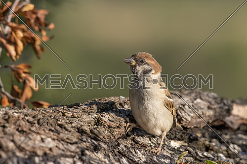 Eurasian tree sparrow (Passer montanus) is a passerine bird in the sparrow family with a rich chestnut crown and nape and black patch on each pure white cheek