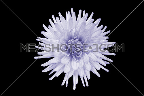 beautiful purple dahlia flower  isolated on black background with rain drops in garden