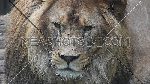Extreme close up portrait of one young male lion looking at camera, low angle view