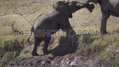 View as two elephants interact on a river bank