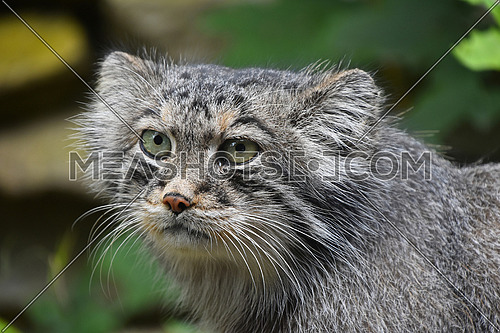 Close up portrait of one cute Manul kitten (The Pallas's cat or Otocolobus manul) looking at camera, low angle view
