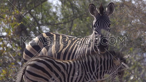 View of a Zebra foal standing next to mother