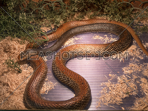 The Taipan is considered to be one of the most dangerous snakes in the world. These are giant (4 m), fast,nervous and highly venomous snakes found in Australia and Papua New Guinea.