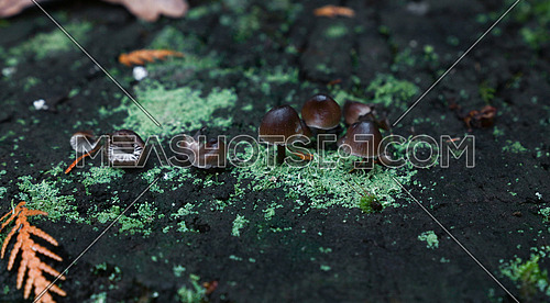 Close up colony of small toadstools, poisonous mushrooms and teal green lichen moss on wet bark, high angle view