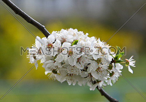Close up white cherry tree blossom over green, low angle view