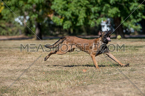 Belgian Shepherd Running Through the Grass. Selective focus on the dog