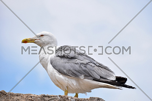 Close up profile portrait of one big sea gull perching on rock and looking away over cloudy blue sky, low angle side view