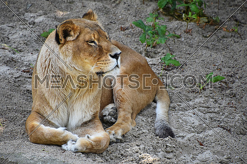Full length portrait of one lioness resting on ground, high angle front view