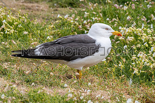 Close up view of nesting Lesser black-backed gull (Larus fuscus)