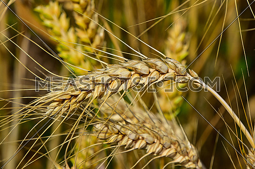 One ripe mature wheat ear head close up with other mature and green spikes in background