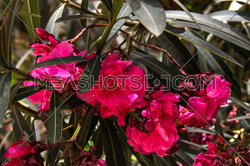 a close up for plants in a Garden in Cairo, Egypt showing green leaves , flowers in violet or pink colors