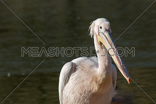 Beautiful Pink Pelican (Pelecanus onocrotalus)  Rare bird species