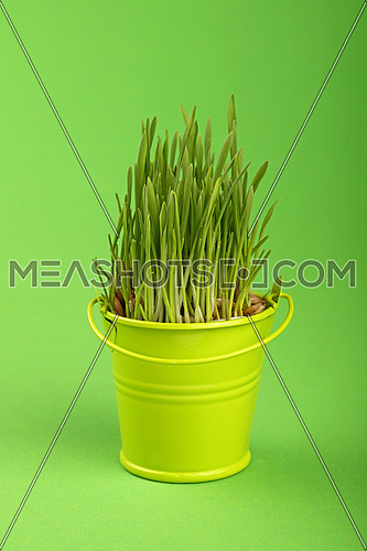 Spring fresh grass growing in small painted yellow metal bucket, close up over green paper background, low angle side view