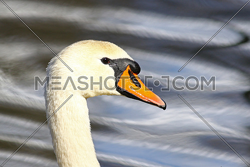 Bright portrait of a mute swan with blurred water reflections in the background