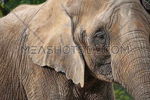Extreme close up portrait of young African elephant looking at camera over background of green trees, low angle side profile view