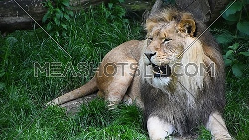 Close up portrait of one male lion turning head, yawning and looking at camera over background of green grass, low angle view