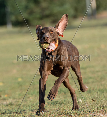 Close-up view of Weimaraner Dog outside in the park. Selective focus