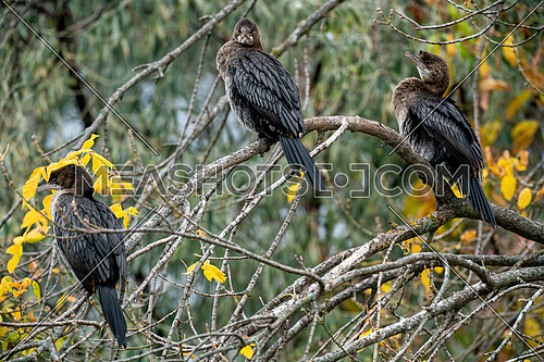 A Pygmy Cormorant (Phalacrocorax pygmeus) an endangered species sitting on a branch