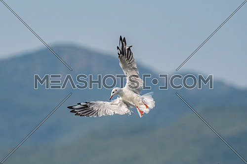 Black-headed gull (Chroicocephalus ridibundus) in flight. Wildlife in natural habitat