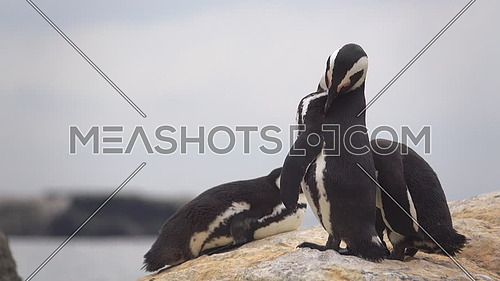 View of three penguins sunning on the rocks