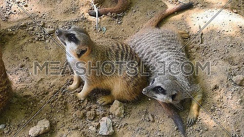 Close up group of two meerkats looking up alerted, elevated high angle view