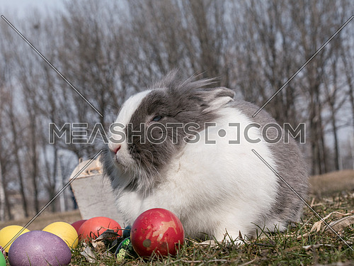 Happy Easter. Closeup image of a cute dutch bunny