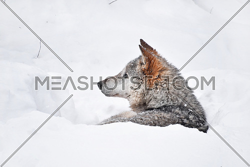 Close up profile portrait of one grey wolf resting in deep snow winter den lair and looking away, low angle side view