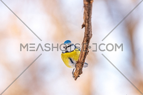 Blue tit (Cyanistes caeruleus or Parus caeruleus) sitting on a branch with a blurred background