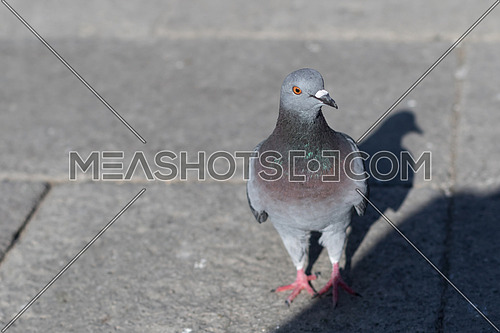 A grey Pigeon on a grey ground and its shadow