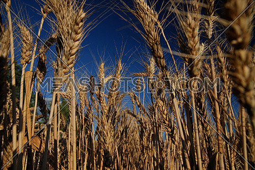 wheat and blue sky   (NIKON D80; 6.7.2007; 1/80 at f/8; ISO 100; white balance: Auto; focal length: 18 mm)