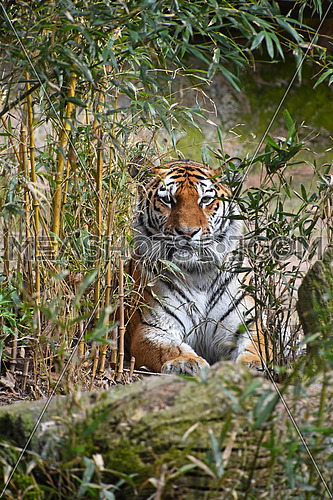 Siberian tiger (Amur tiger, Panthera tigris altaica) hiding in bamboo forest jungle, looking at camera