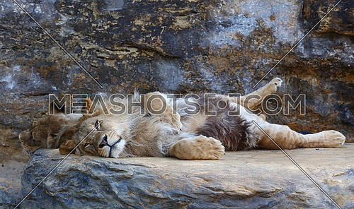 Portrait of young cute male African lion laying resting on the rock next to lioness and looking at camera, low angle view