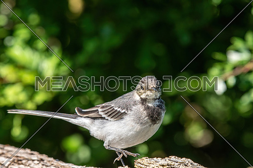 Close-up photography of young beautiful white wagtail or Motacilla alba