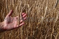 Man farmer's hand holding, touching and testing grains of ripe mature wheat ear spike over background of cultivated field shaking in the wind, close u