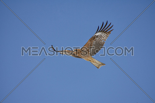 Close up photo of Black Kite (milvus migrans) in flight, blue sky